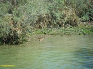 Cocodrilo en el río